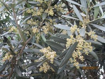 オリーブの花2.jpg