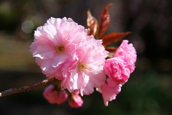 八重桜(関山).jpg